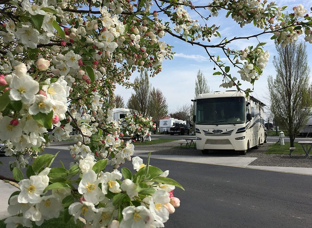 Large RV parked behind budding cherry blossom tree