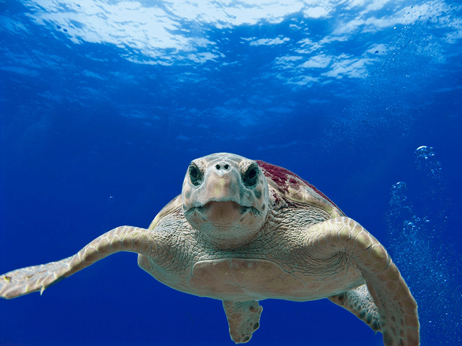 A loggerhead turtle swims in the sparkling seas for an animal encounter.