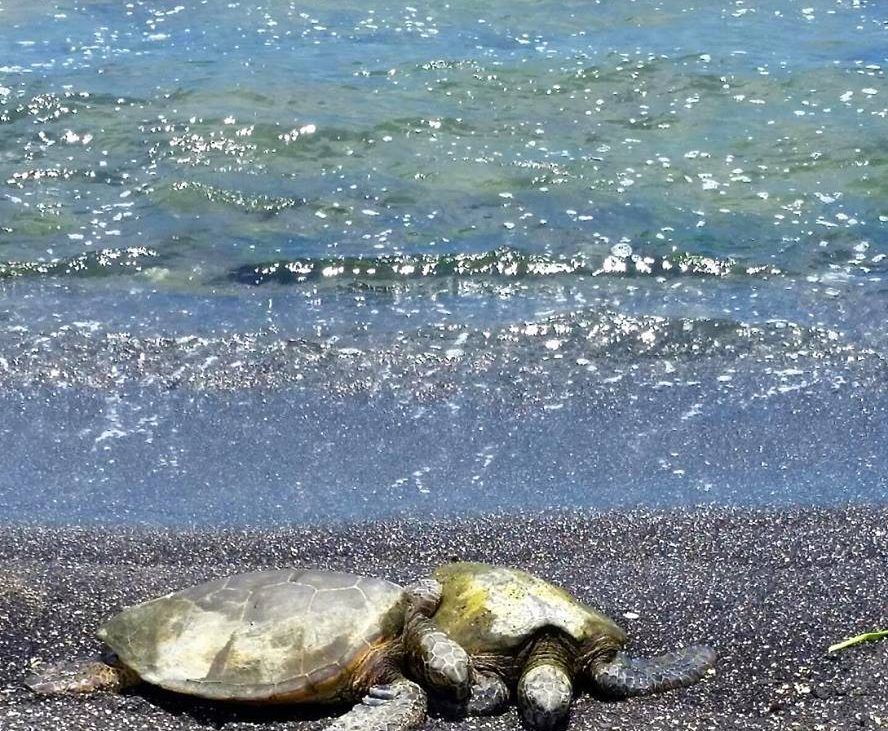 Green sea turtles on edge of water laying on sand