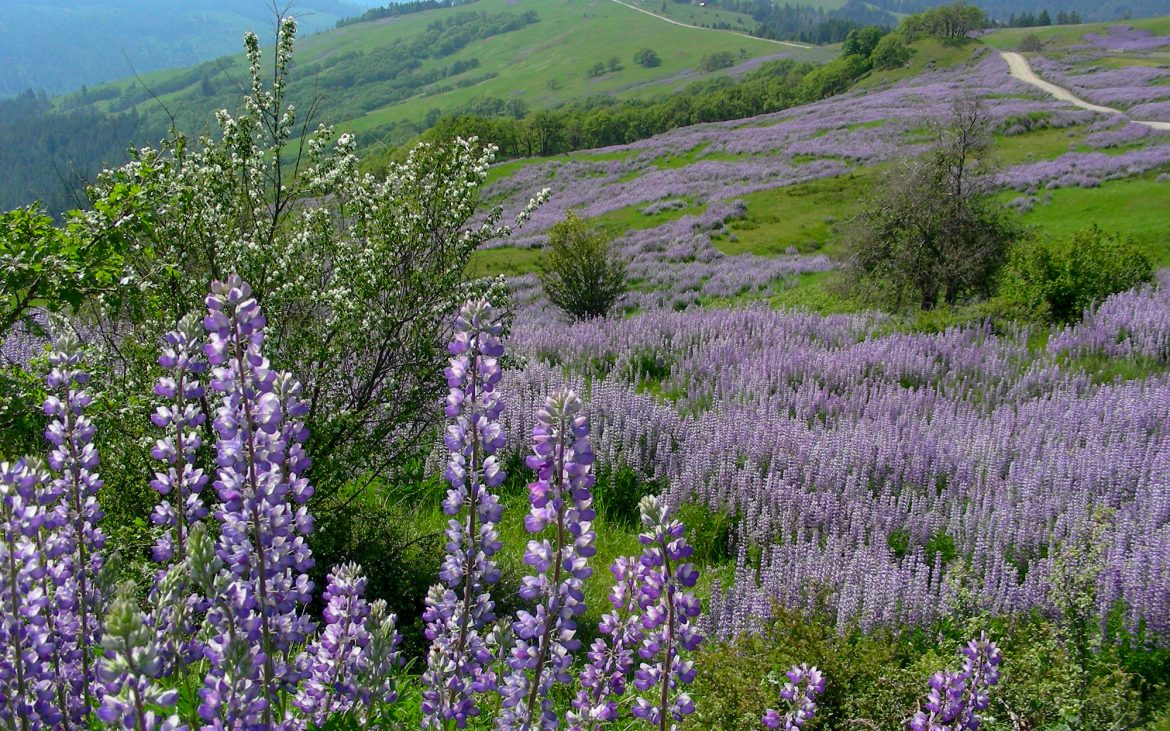 Lupine lavender and purple long flower bloom on green hills in Redwood National Park
