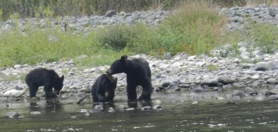 Family of bears playing along river bank