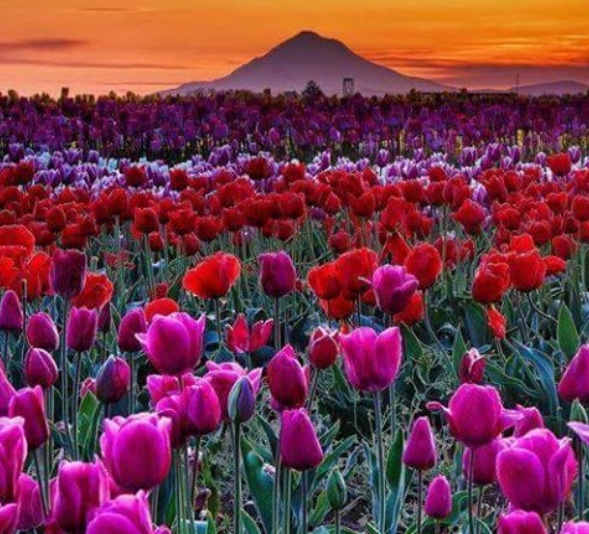 Rows and rows of beautiful red and purple shaded flowers