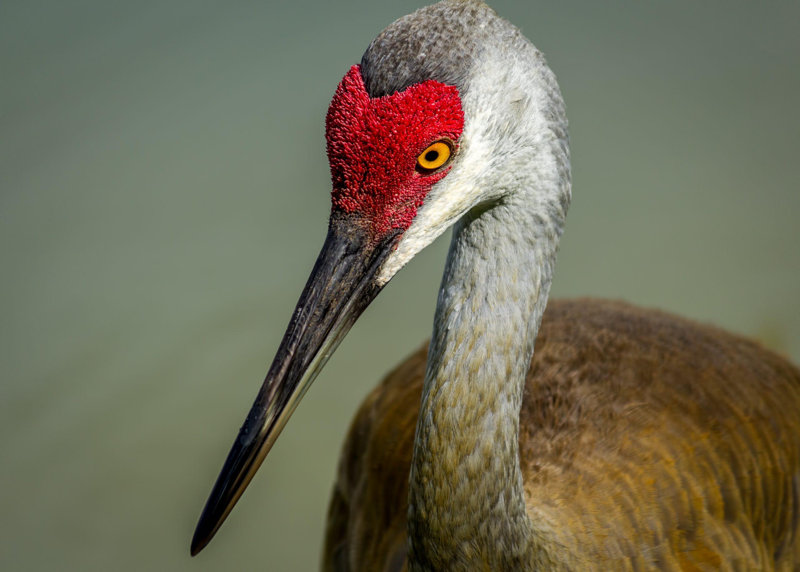 Sandhill Crane, Color image, Closeup, Florida Wildlife