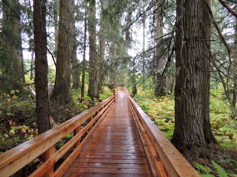 A wooden walkway stretches through an ancient forest near Prince George.