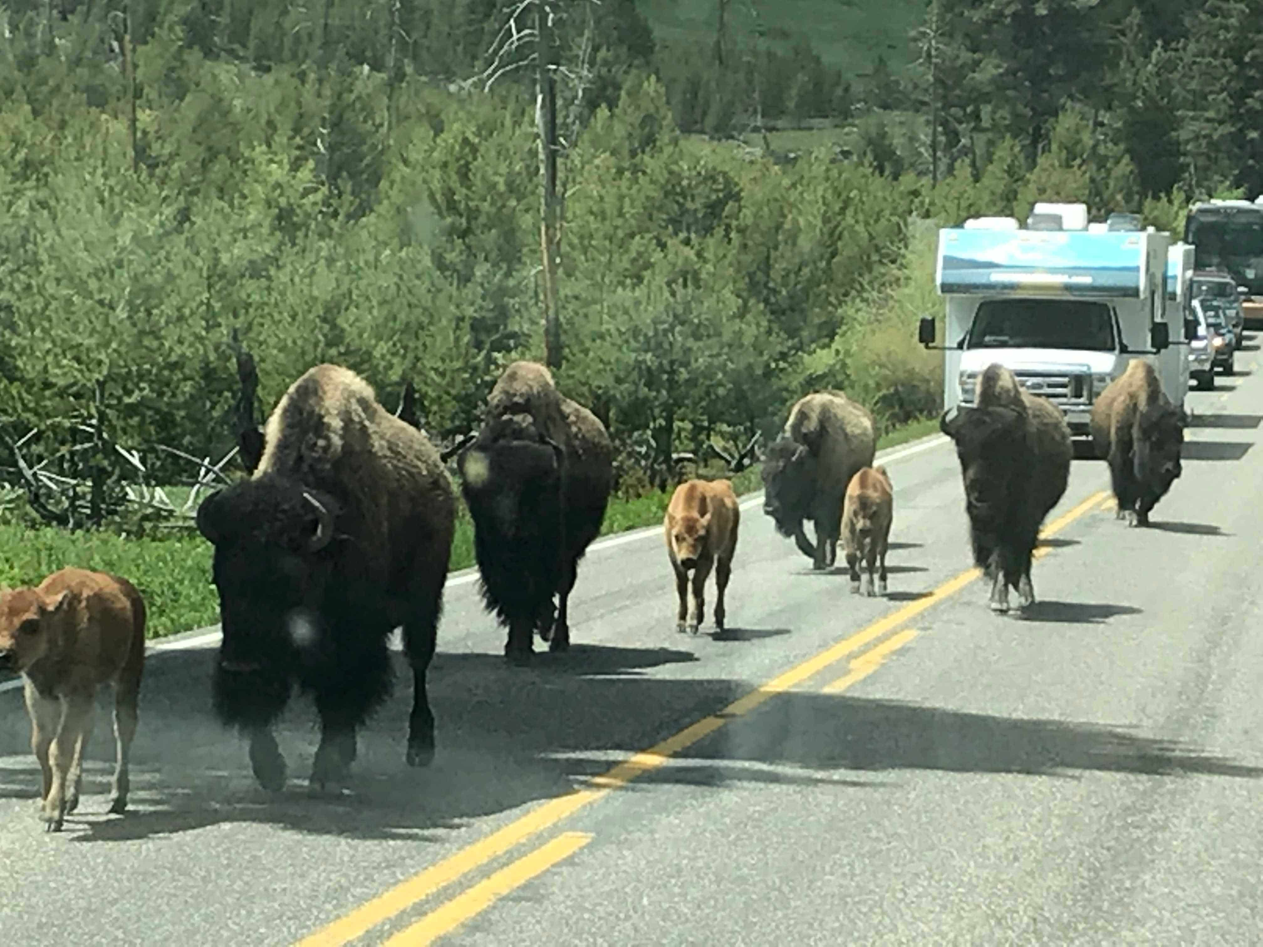 Bison block traffic as they amble along a road in Yellowstone National Park.