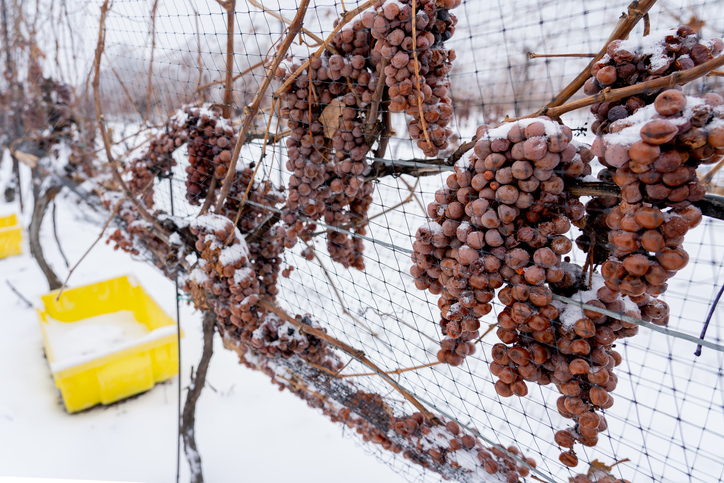Snow covered grapes