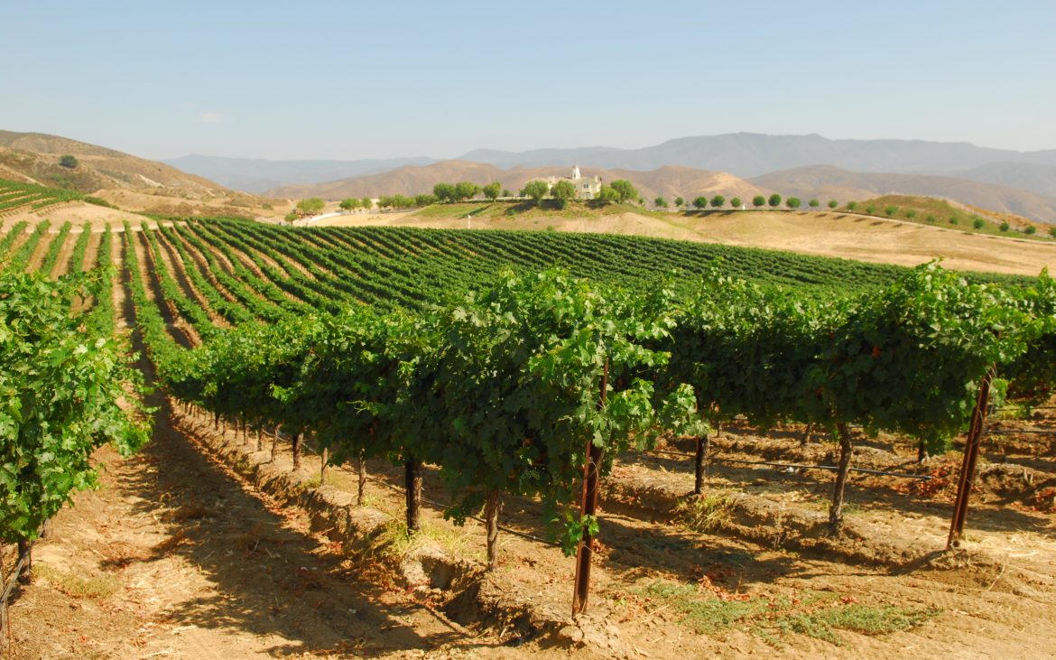 Lush green wine vineyards in Temecula