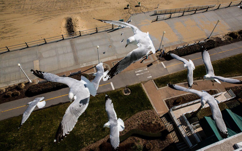 Seagulls fly over the boardwalk at Virginia Beach