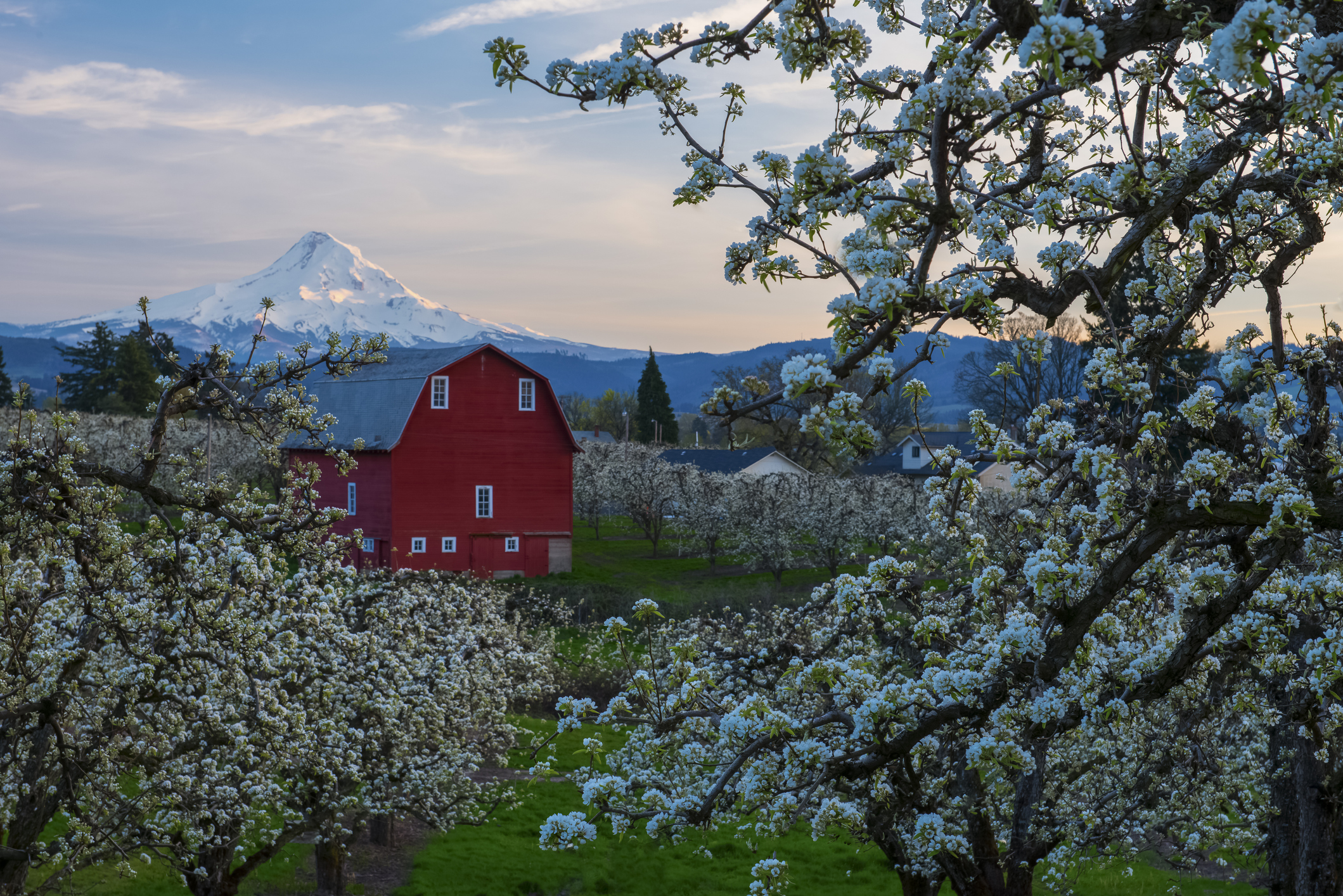 White blooming flowers on tree in focus with red barn and snow capped mountain