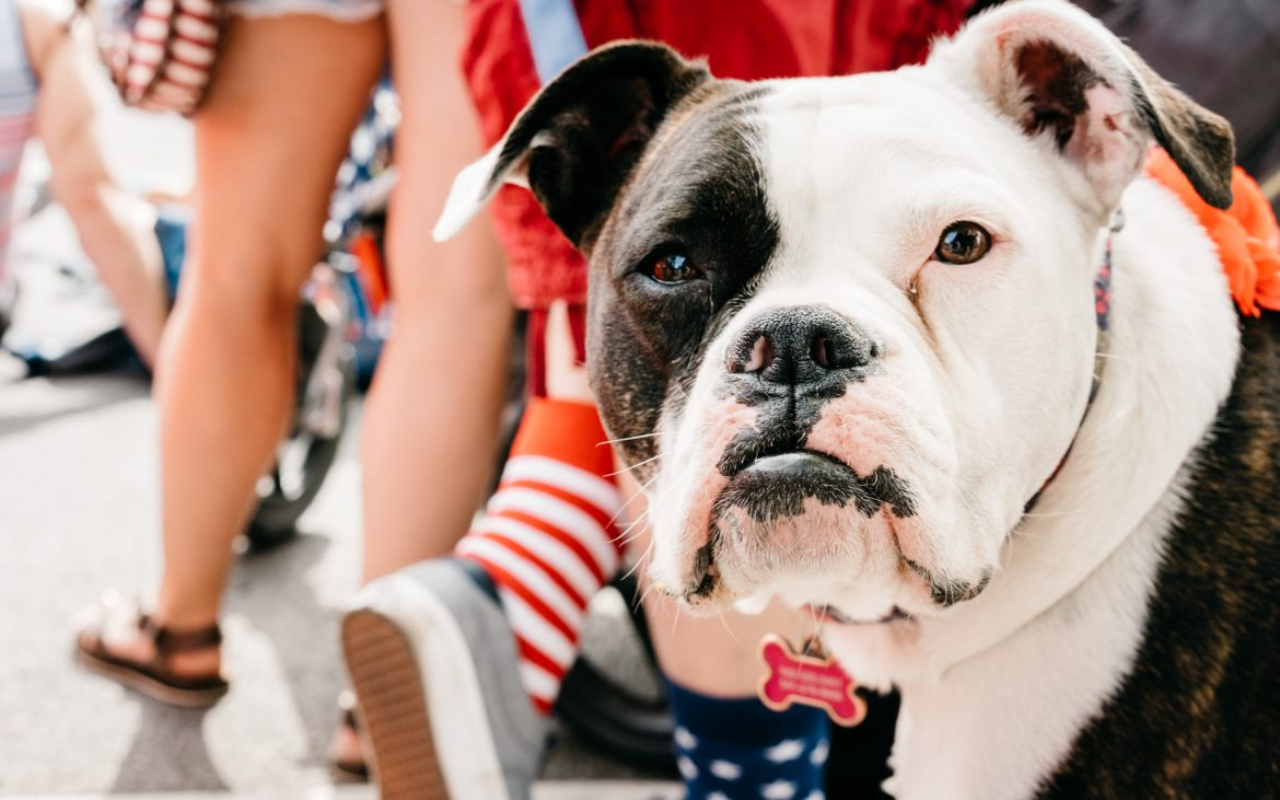 Black and white dog looking into camera with festive 4th of July colors in background