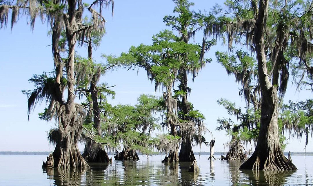 Trees rise out of the bayou.