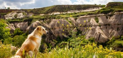 Golden Retriever sitting grass looking over a canyon.
