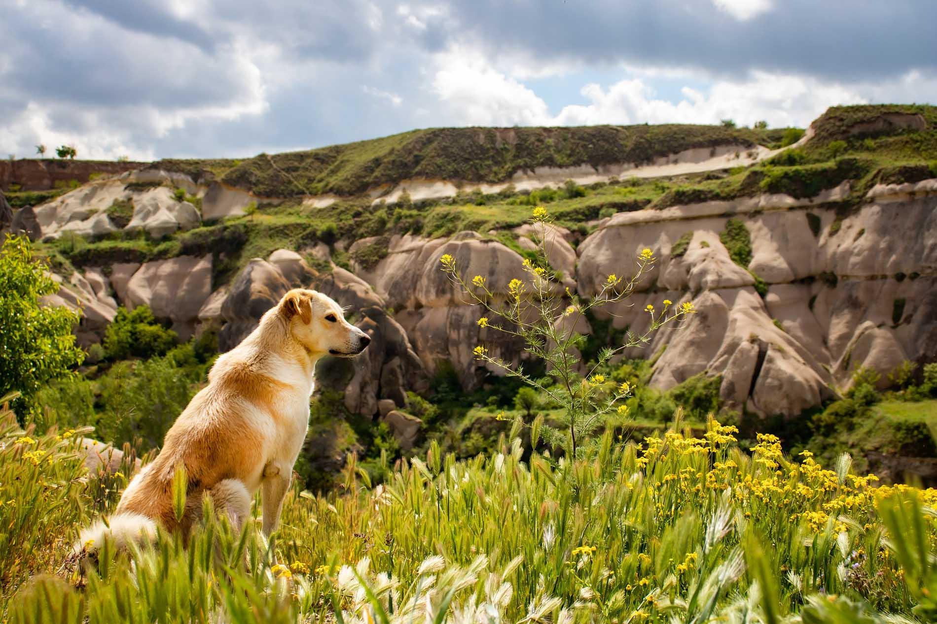 Golden Retriever sitting grass looking over a canyon.
