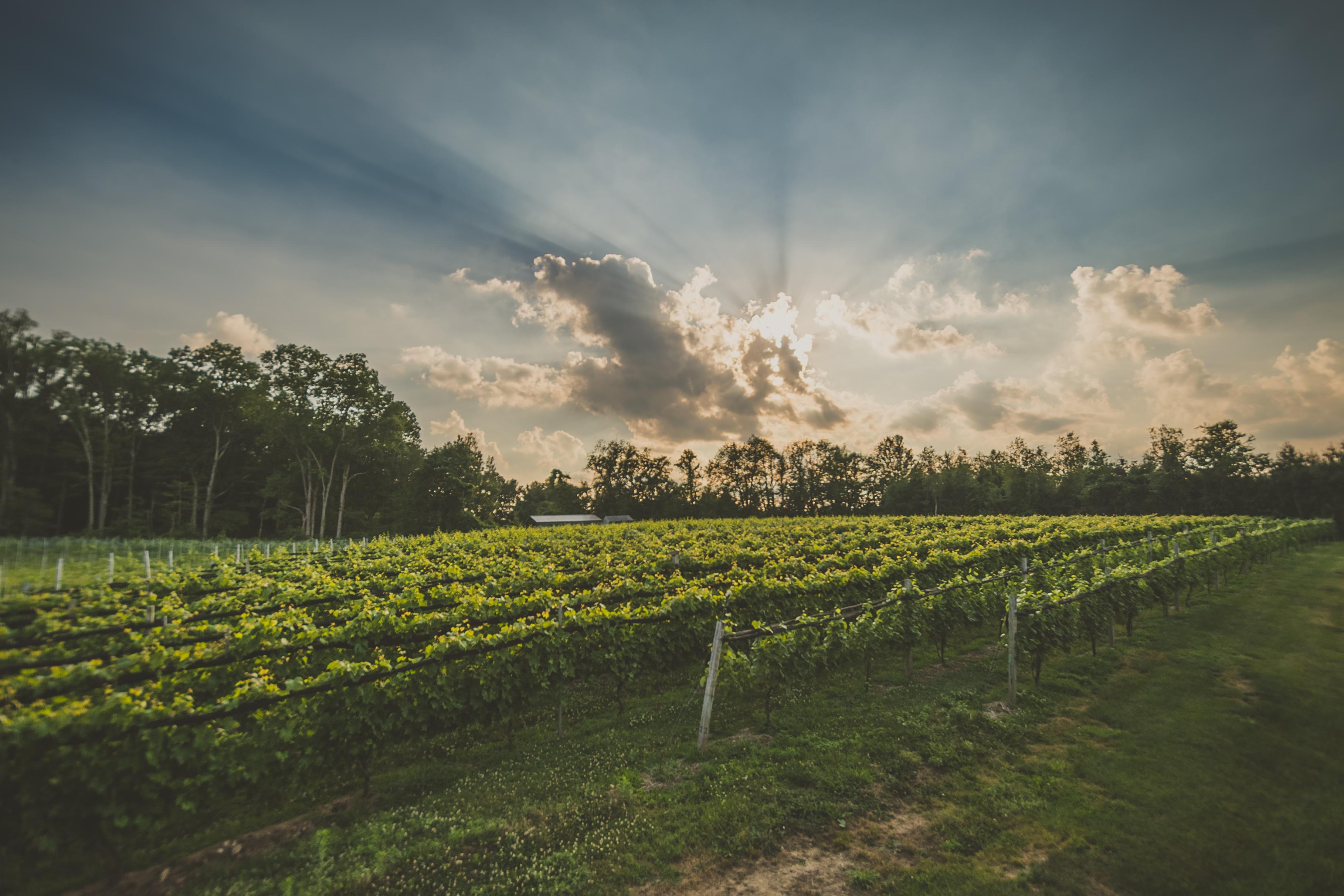 Beautiful sunset over lush wine vineyards