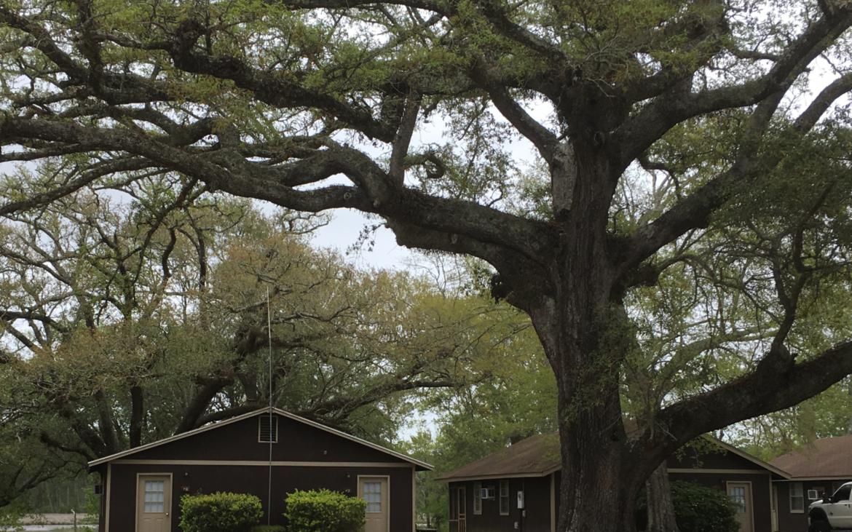 Antebellum home beside enormous tree