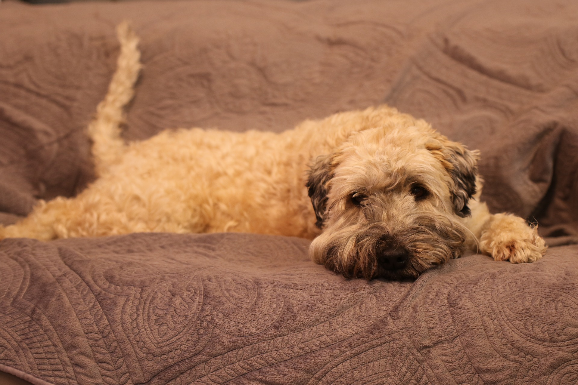 Tan dog lounging on couch cover.