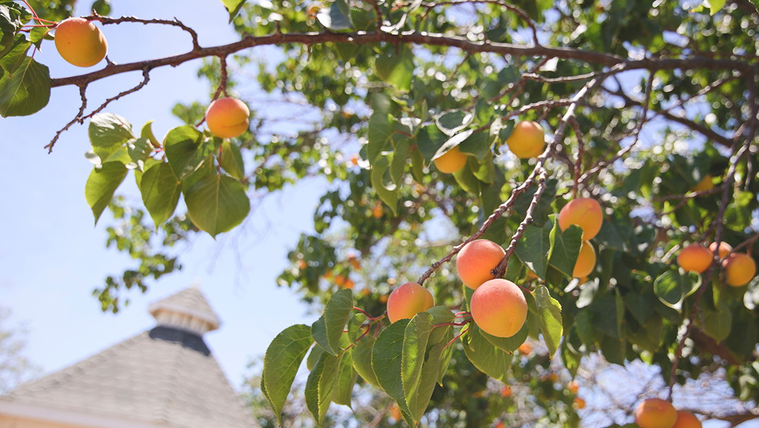Peaches ripen on a tree under a hot Georgia Sun.