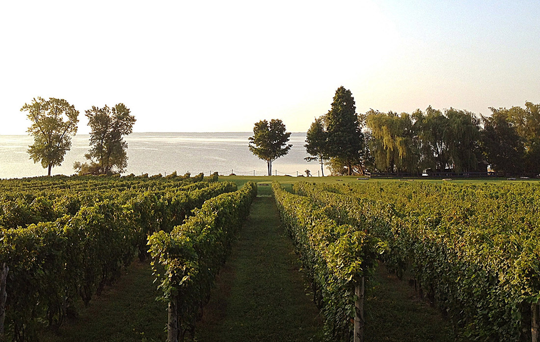 Neat rows of grape vines stretch into the distance with trees and Lake Ontario in the background at Waupos Winery in Prince Edward County.