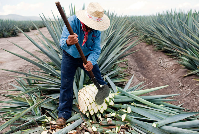 Harvesting the blue agave plant.