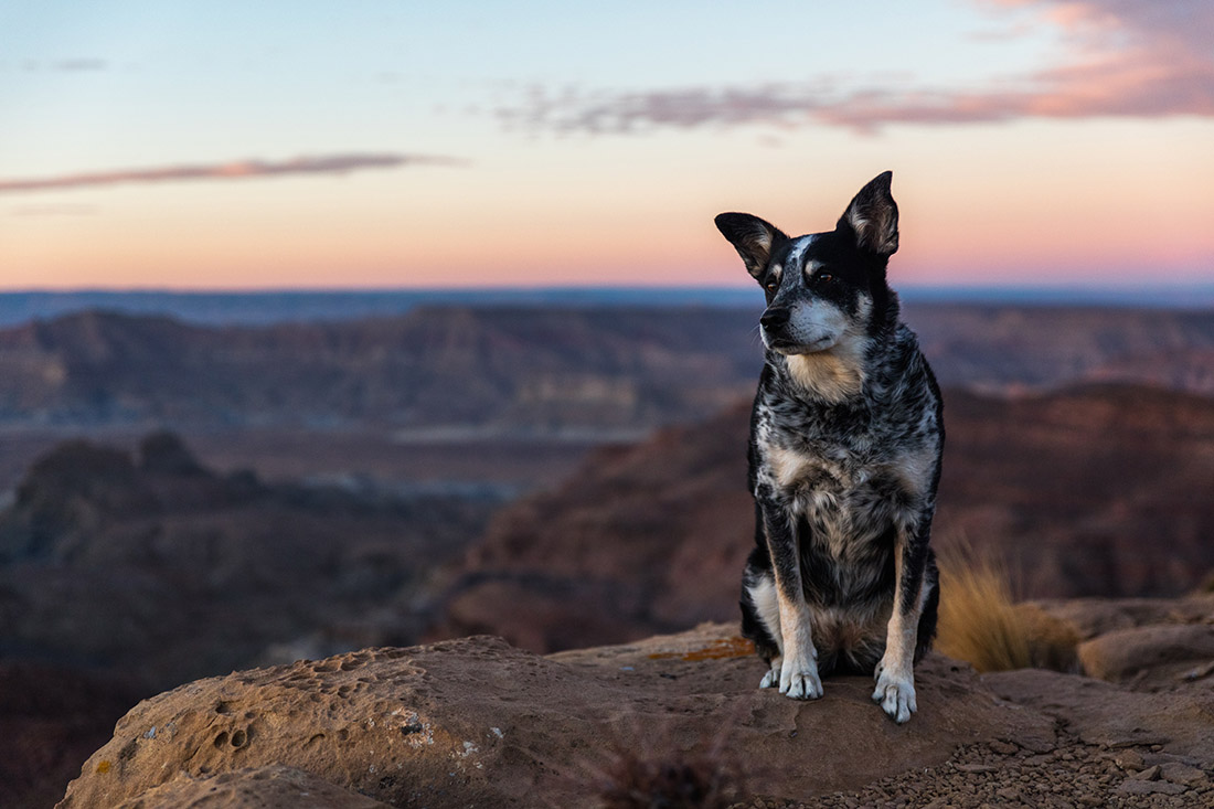 A bored-looking border collie overlooks the rugged terrain during dusk at Utah's Grand Staircase-Escalante National Monument