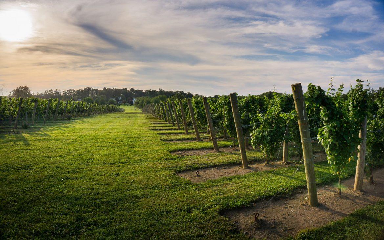 Beautiful green vineyard with ripe vines