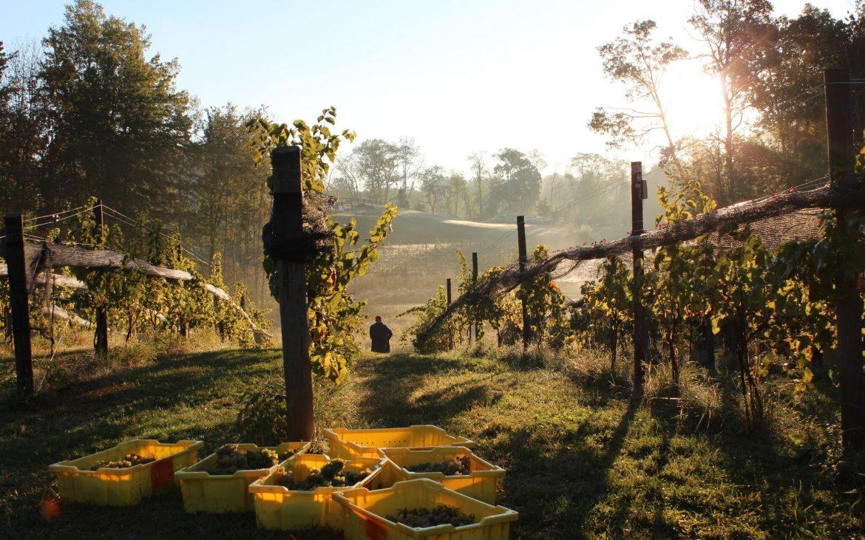 Bins of grapes sitting among grape vines