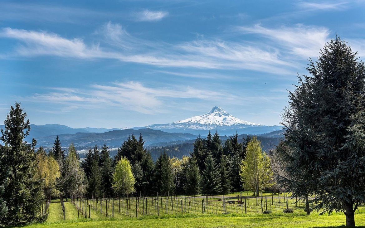 Beautiful view of vineyard, evergreen trees and snowy mountains in the distance