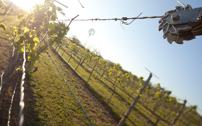 Close up of green grape vines at vineyard