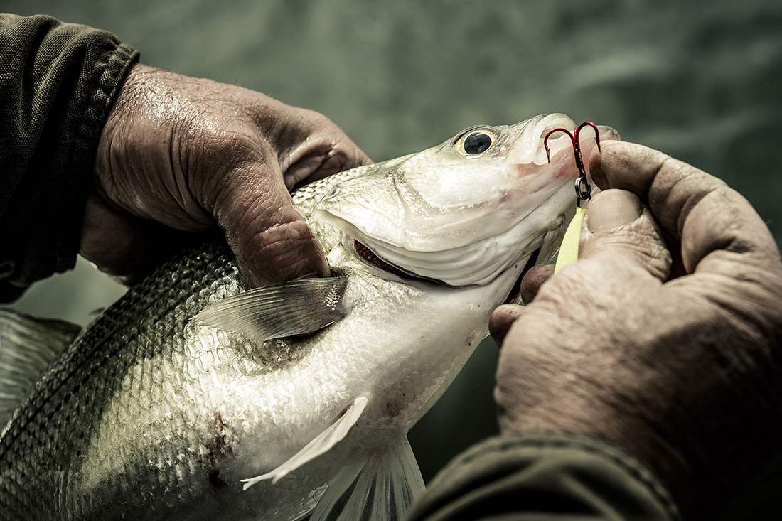 A closeup of a man removing a hook from the mouth of a hefty fish.