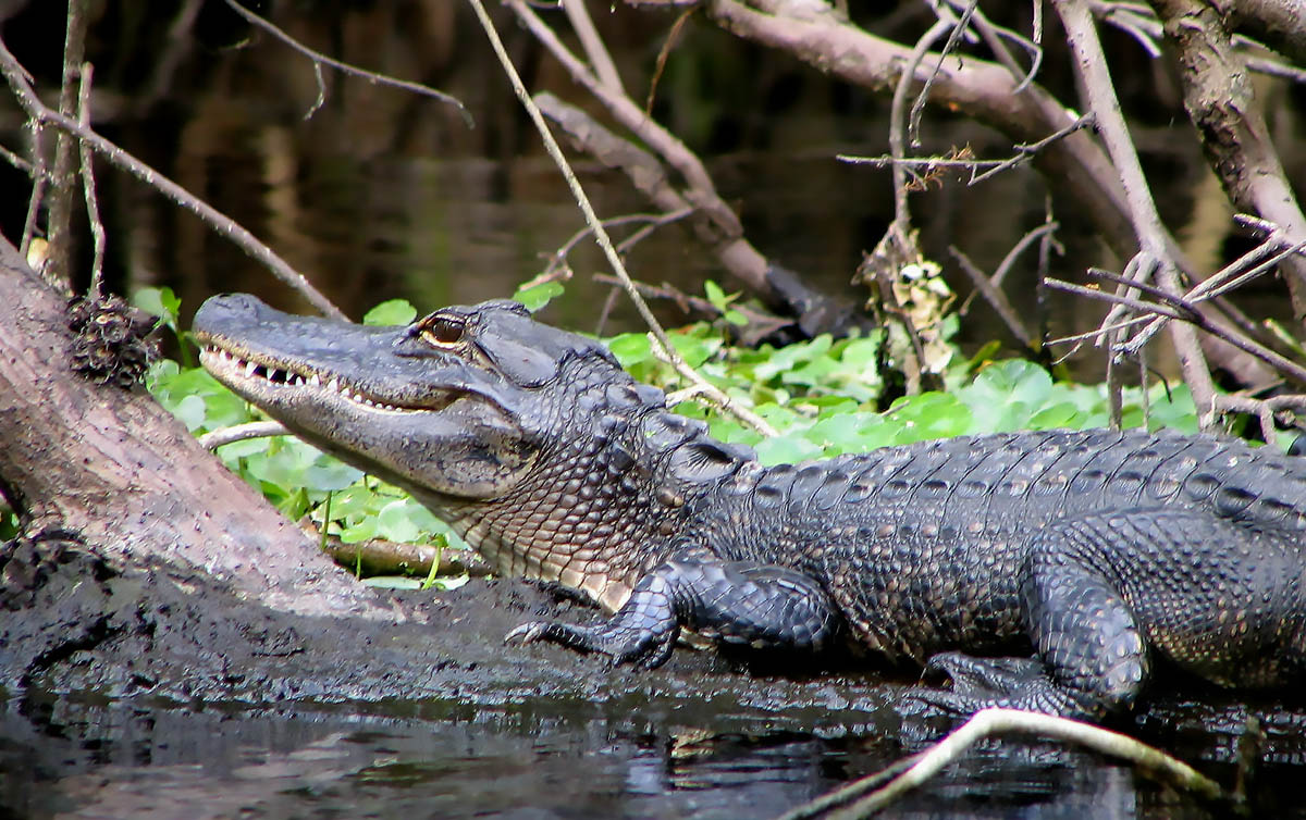An alligator lies on a downed tree trunk on a tropical river.