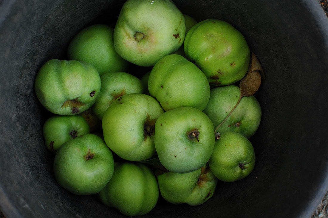 A bucket of granny smith apples.