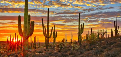 Saguaro cactuses tower over a desert landscape as the sun sets on the horizon.