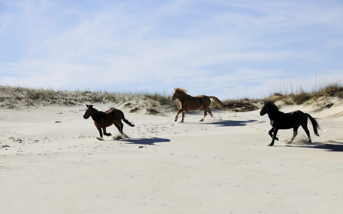 Three wild mustangs of Spanish descent running among North Carolina's Outer Banks sand dunes