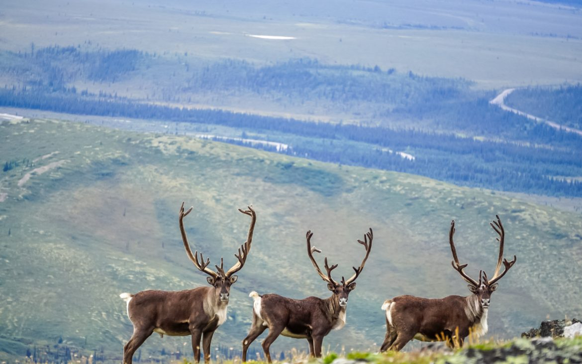 Three caribou looking at camera in Alaska