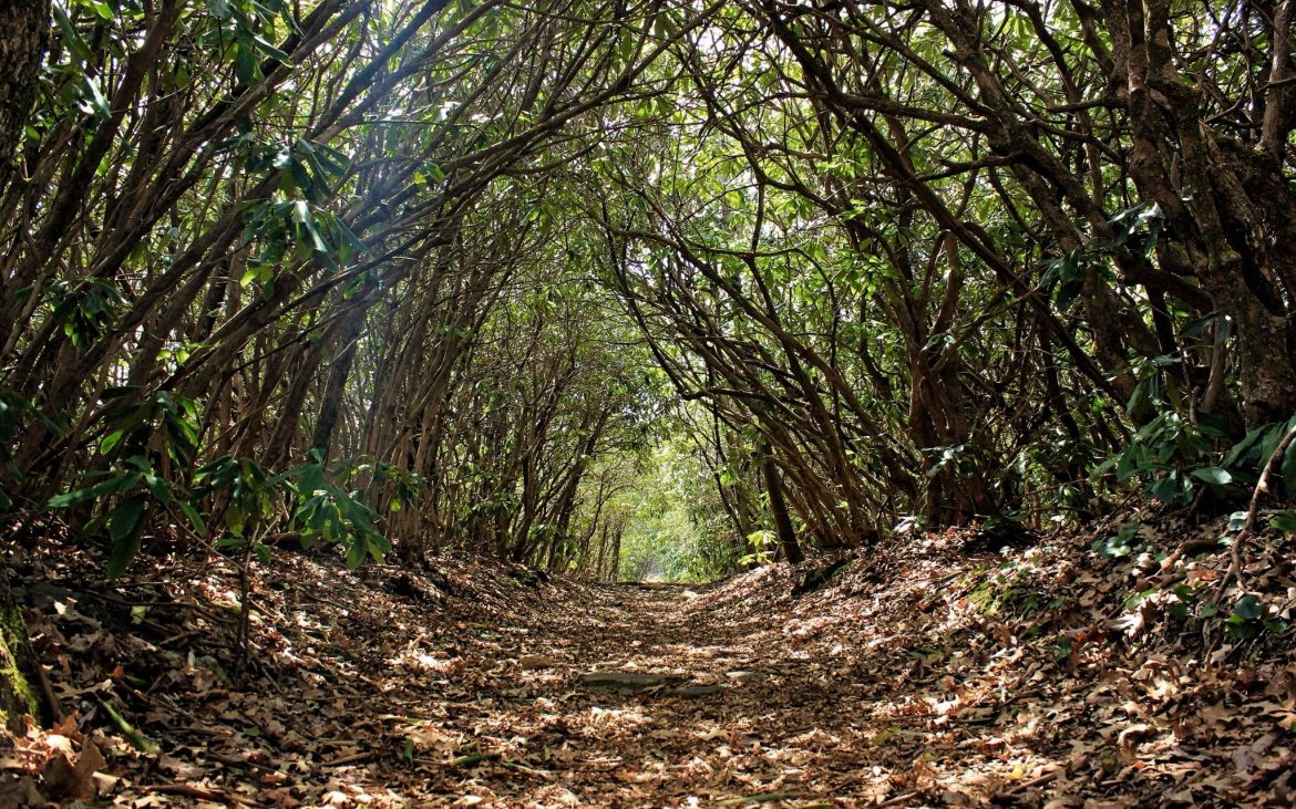 Lush canopy trail of trees and leaves