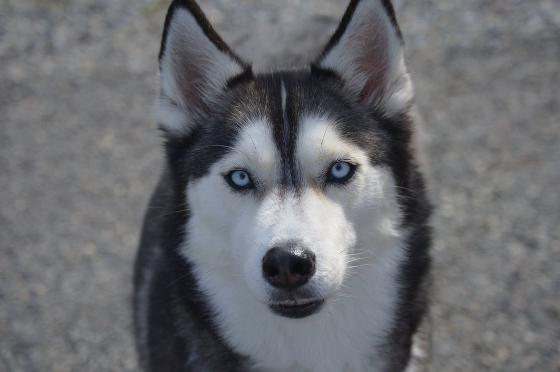 A husky dog eyes the photographer warily, hoping for treats.