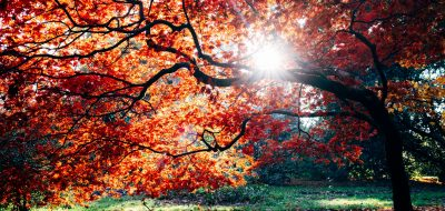 Beautiful tree with orange and yellow leaves and sun shining through