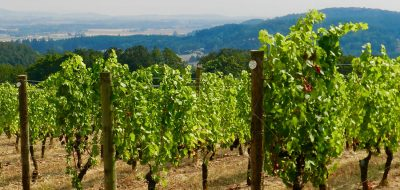 Vineyard with lush vines in McMinnville, Oregon