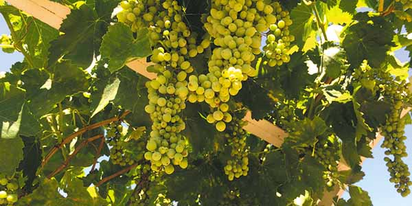Ready for harvest: Grapes ripen in the sun in a Temecula winery