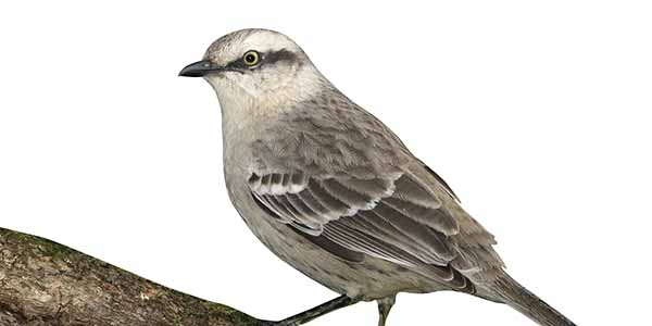 Small grey and white mockingbird