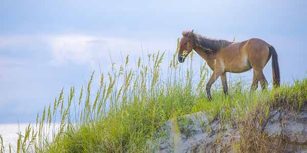 A beautiful wild horse on the Outer banks of North Carolina, USA.