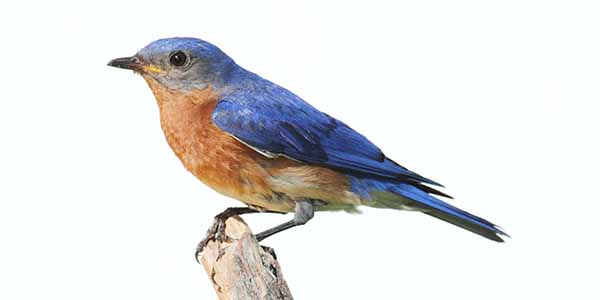 Blue bird with orange chest