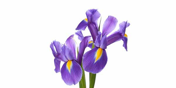 Two purple Irises with yellow centers