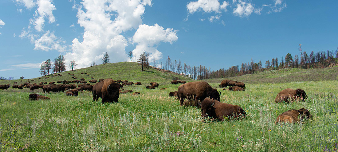 Buffalo graze on green gass that covers rolling hills.