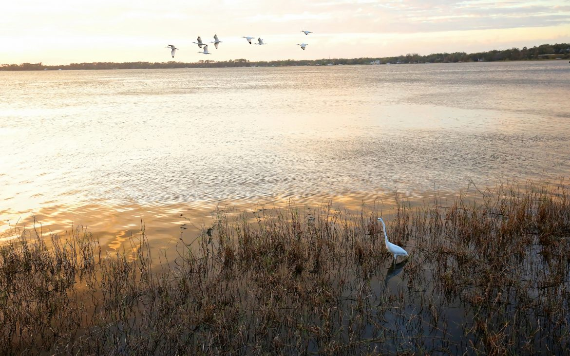 Ibis fly overhead inlet at sunset in Mount Dora