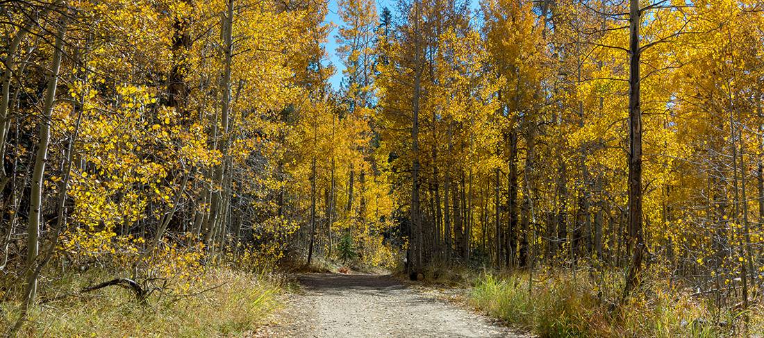 A path enters a forest that's thick with golden aspen trees.