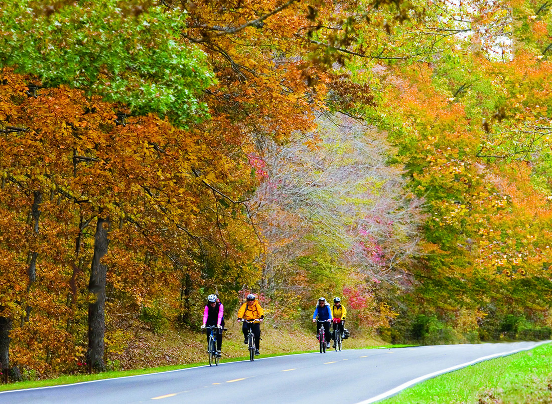 Four cyclists ride on a paved road lined with a tall trees bursting in gold, yellow and green fall foliage.
