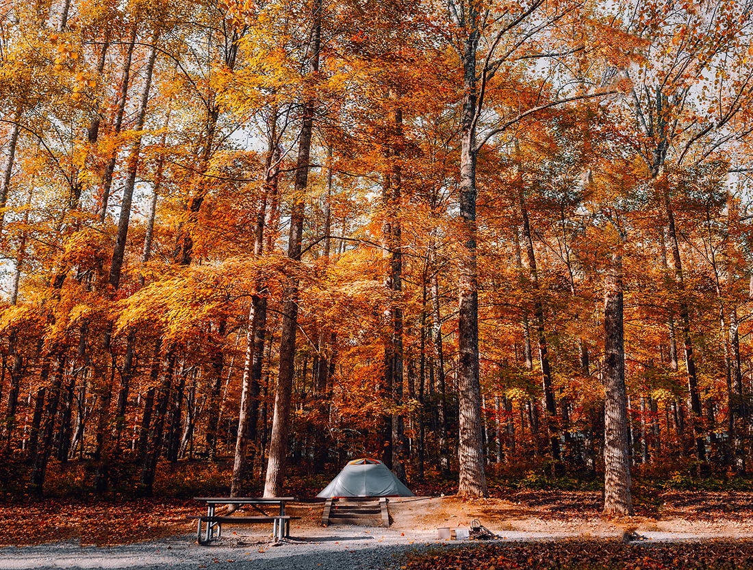 A lone tent sits at the foot of towering trees that have turned rust.