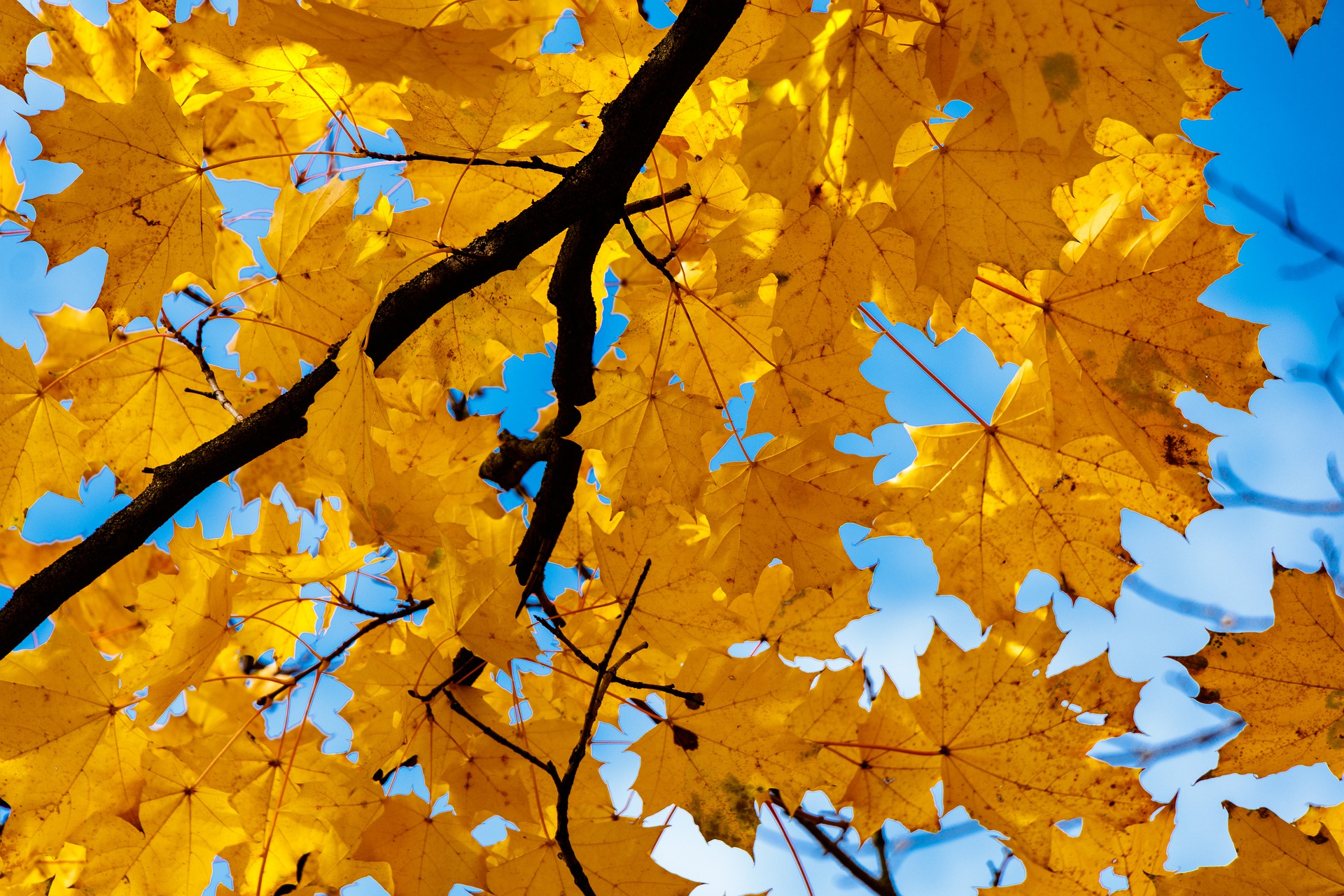 POV from the ground, Golden-yellow maples leaves silhouetted against a clear blue sky