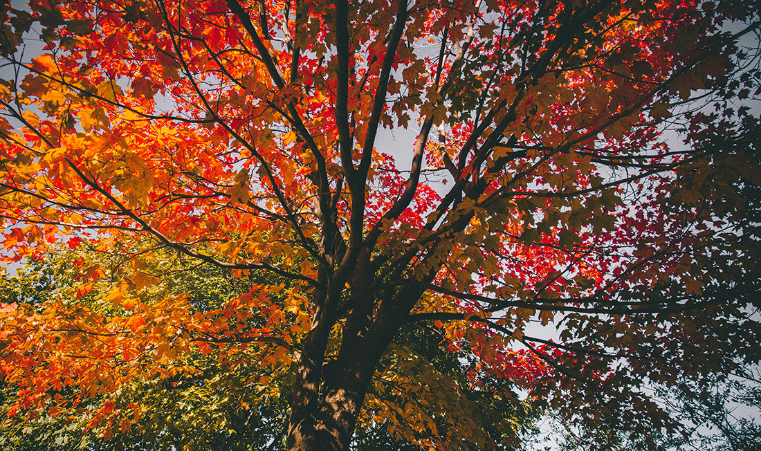 POV from the ground up of a canopy of orange, rust and golden fall leaves.
